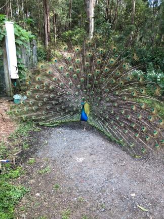 Peacock at Gwinganna